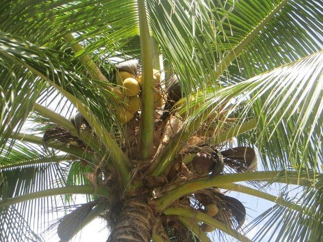 Желтые кокосы на пальме