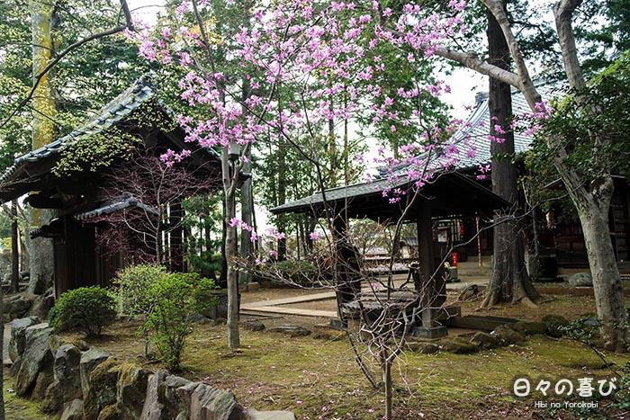 sanctuaire kami sous les cerisiers en fleurs