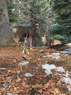 Mule deer in BC