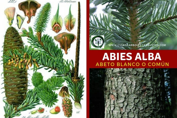 El Abies alba, abeto blanco o común, tiene ramitas están cubiertas de pelos que suelen ser de colores rojizos