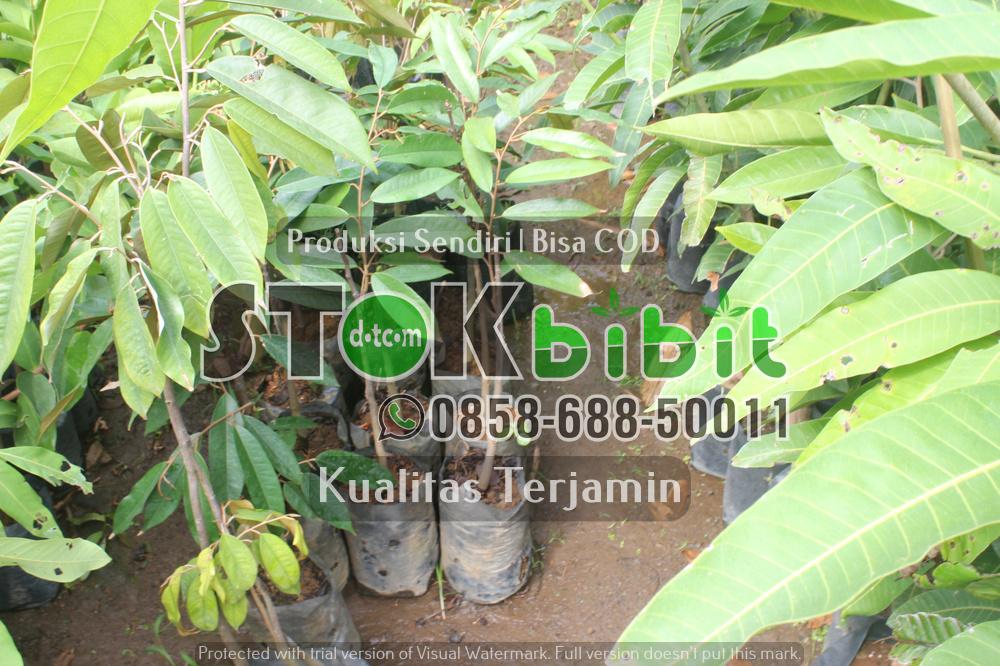 Bibit Durian Merah Banyuwangi Kini Bisa Di Beli Di Purworejo Jawa Tengah      Unggul     Grosir