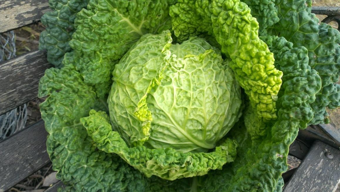 Perchè fa bene mangiare la verza o cavolo di Milano: ecco i suoi benefici | Salute News