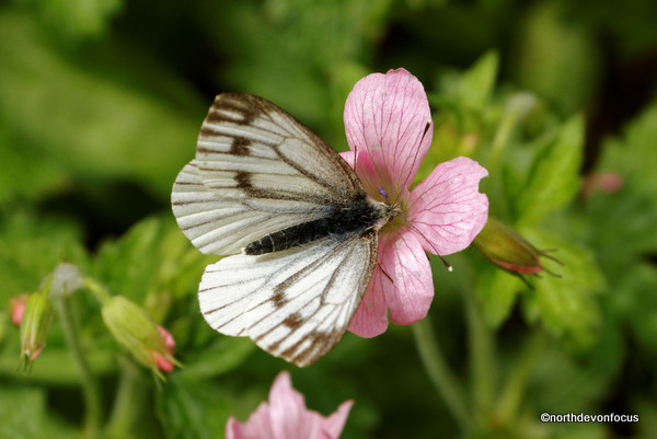 Green-veined White Photo copyright Pat Adams North Devon Focus