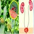 Amazing Health Benefits of Tawa-Tawa Plant