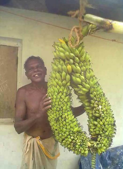 Two Banana in One Tree in Kerala
