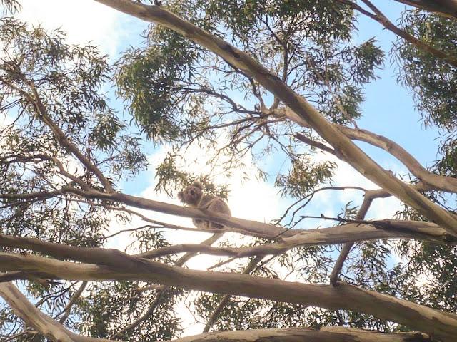 wildlife koala adelaide