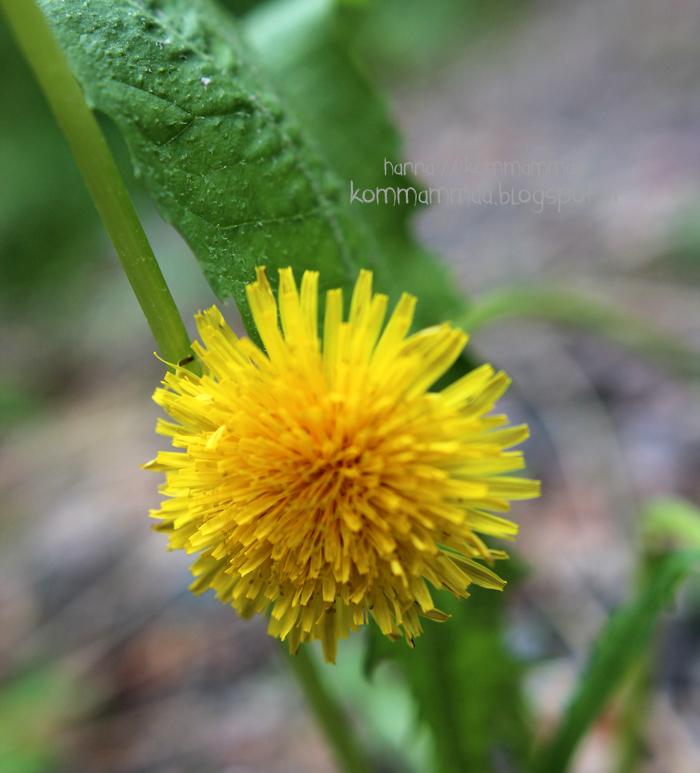 sipoonkorpi kansallispuisto luontopolku voikukka keltainen