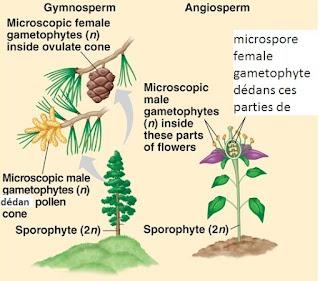 angiosperme et gymnosperme