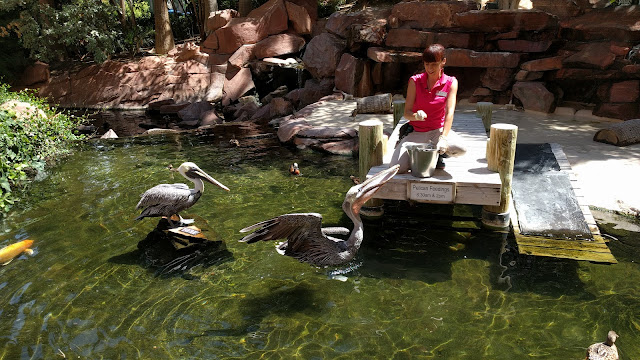 Pelican Feeding at the Flamingo Wildlife Habitat