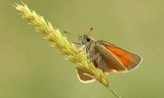 الفراشة النطاطة الصغيرة