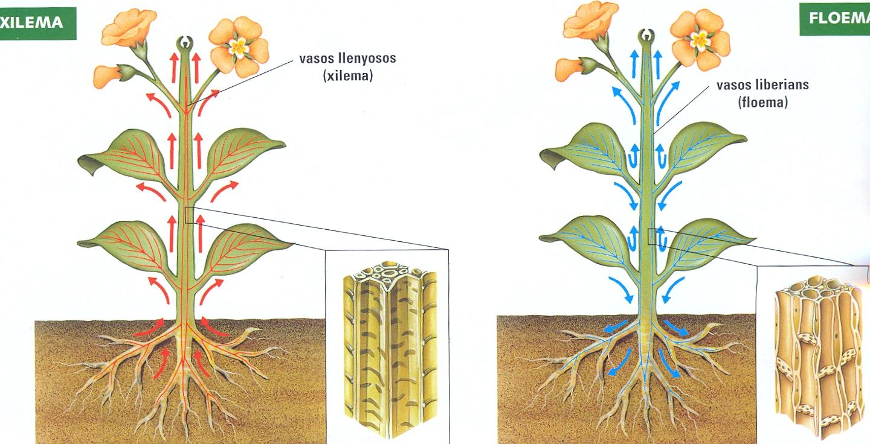 Xilema e Floema | Botânica