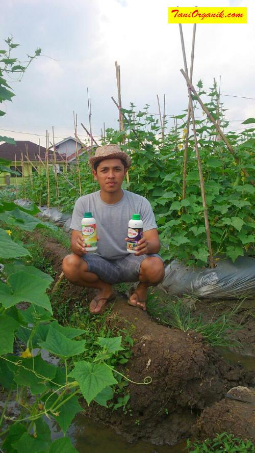 Alhamdulillah, Penyakit Kresek pada Mentimun Kali Ini Bisa Dihindari (Kesaksian Pak Eman, Bandung, 2017)