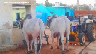 latest Ongole gitta Ongole bull images