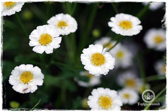 Gartenblog Topfgartenwelt Buchvorstellung Das 5-Pflanzen Prinzip - Genial einfach gestalten: Mutterkraut