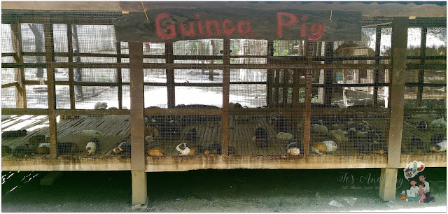 Guinea Pigs at The Fun Farm at Sta. Elena