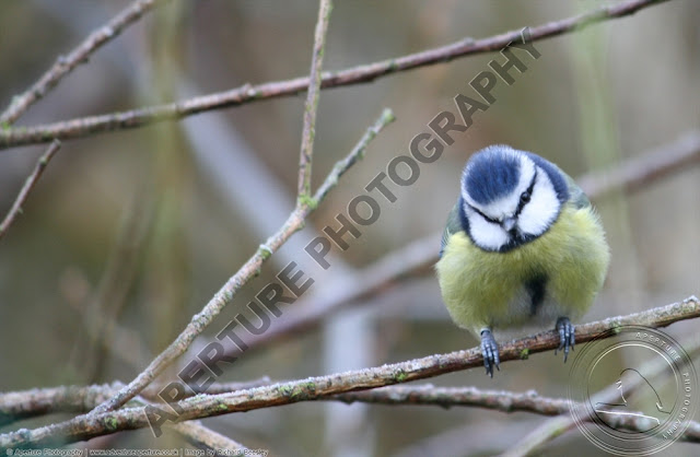 Blue tit sitting on a branch looking at the camera, head tilted