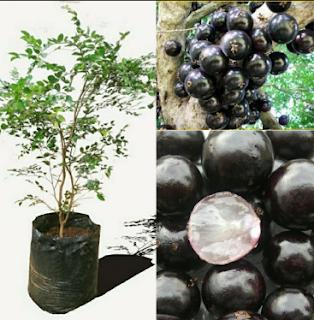 Buah anggur jaboticaba merupakan tanaman pohon yg berasal d Kabar Terbaru- AGAR ANGGUR BRAZIL CEPAT BERBUAH