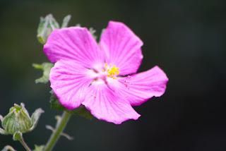 Rock Rose Vivero Growers Nursery Austin