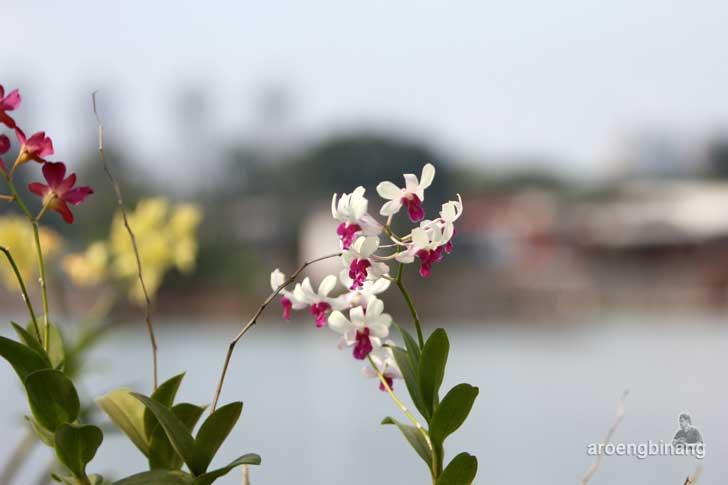 dendrodium putih taman kota ria rio jakarta