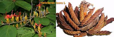 Herbalife use Helicteres isora
