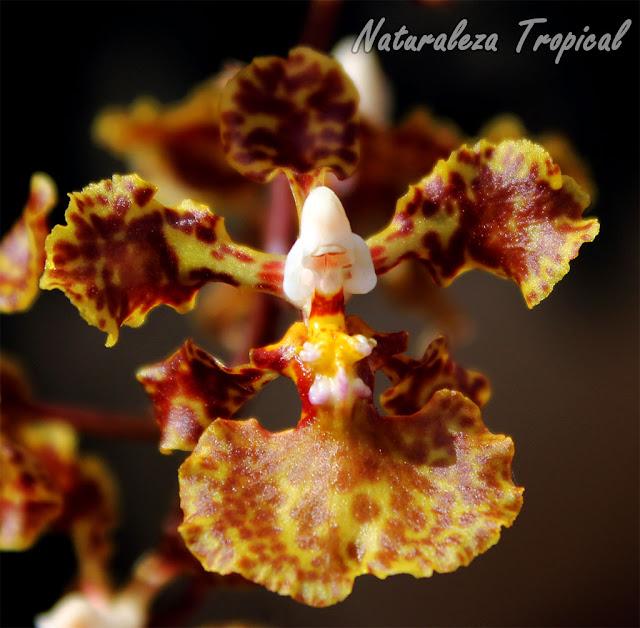 Flor de la orquídea Oreja de Burro, Trichocentrum undulatum
