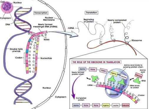 Tahapan sintesis protein secara rinci biologi edukasi belajar langsung saja kita bahas satu persatu tahapan tahapannya dalam sintesis protein ccuart Image collections