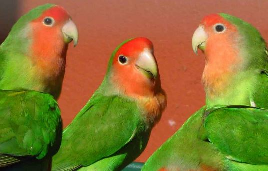Ciri-Ciri Lovebird Muka Salem