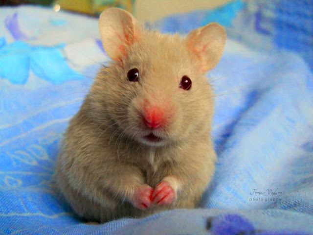 http://4.bp.blogspot.com/-axj_xM5Plus/UKfUhTWQkeI/AAAAAAAAAqM/sfFszEge9Mk/s320/hamster-foodi.jpg