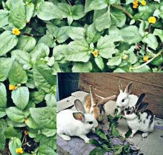 Cara Memberi Makan Kelinci