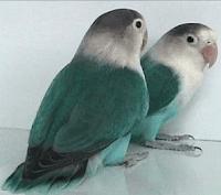 harga lovebird biru osin