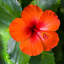 Indian Hibiscus flower fresh from the tree, used for Turn White Hairs