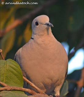 juvenile, Eurasian Collared Dove, Collared Dove