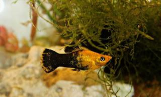 Jenis Ikan Molly
