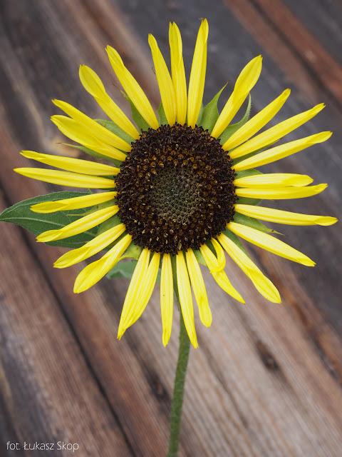 jadalne kwiaty słonecznika