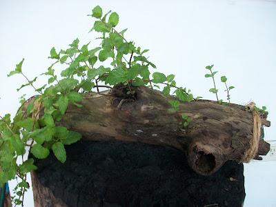 hierbabuena una bella planta ornamental