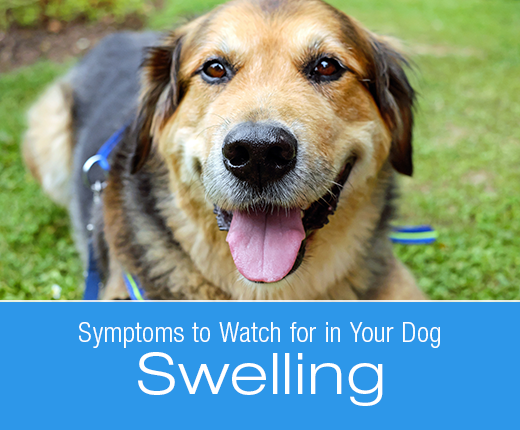 Symptoms to Watch for in Your Dog: Swelling (Edema)