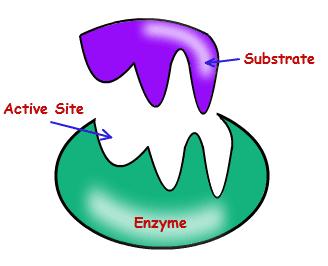 aktivasi enzim