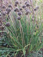 Giant chives