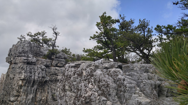 Small, hardy pines on top of a wall of exposed sandstone. North Fork Mountain, West Virginia