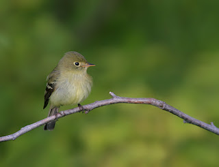 Yellow-bellied Flycatcher in Newfoundland