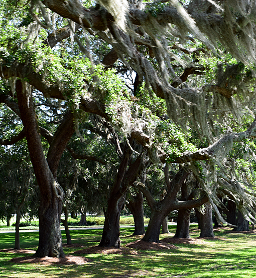 Live Oak Trees | St. Simons Island | Photo: Travis S. Taylor