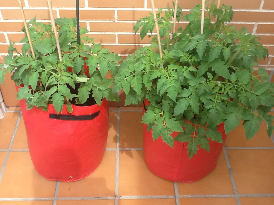 Cómo Cultivar Tomates Cherry En Macetas Durante Todo El Año