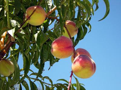صورة لفاكهة الخوخ