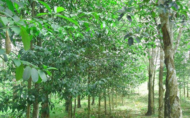 Cara menanam pohon gaharu lengkap