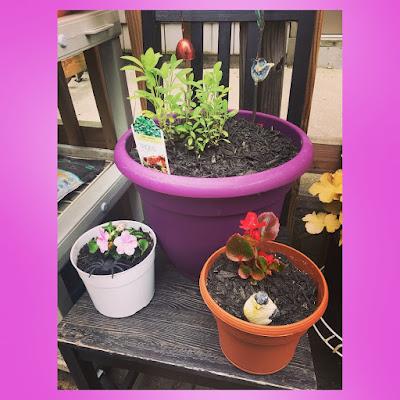 sage plant herbal container garden