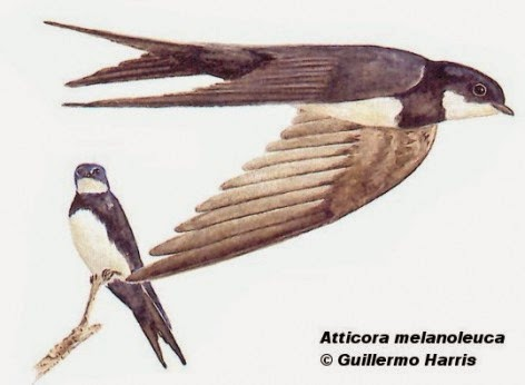Black collared Swallow