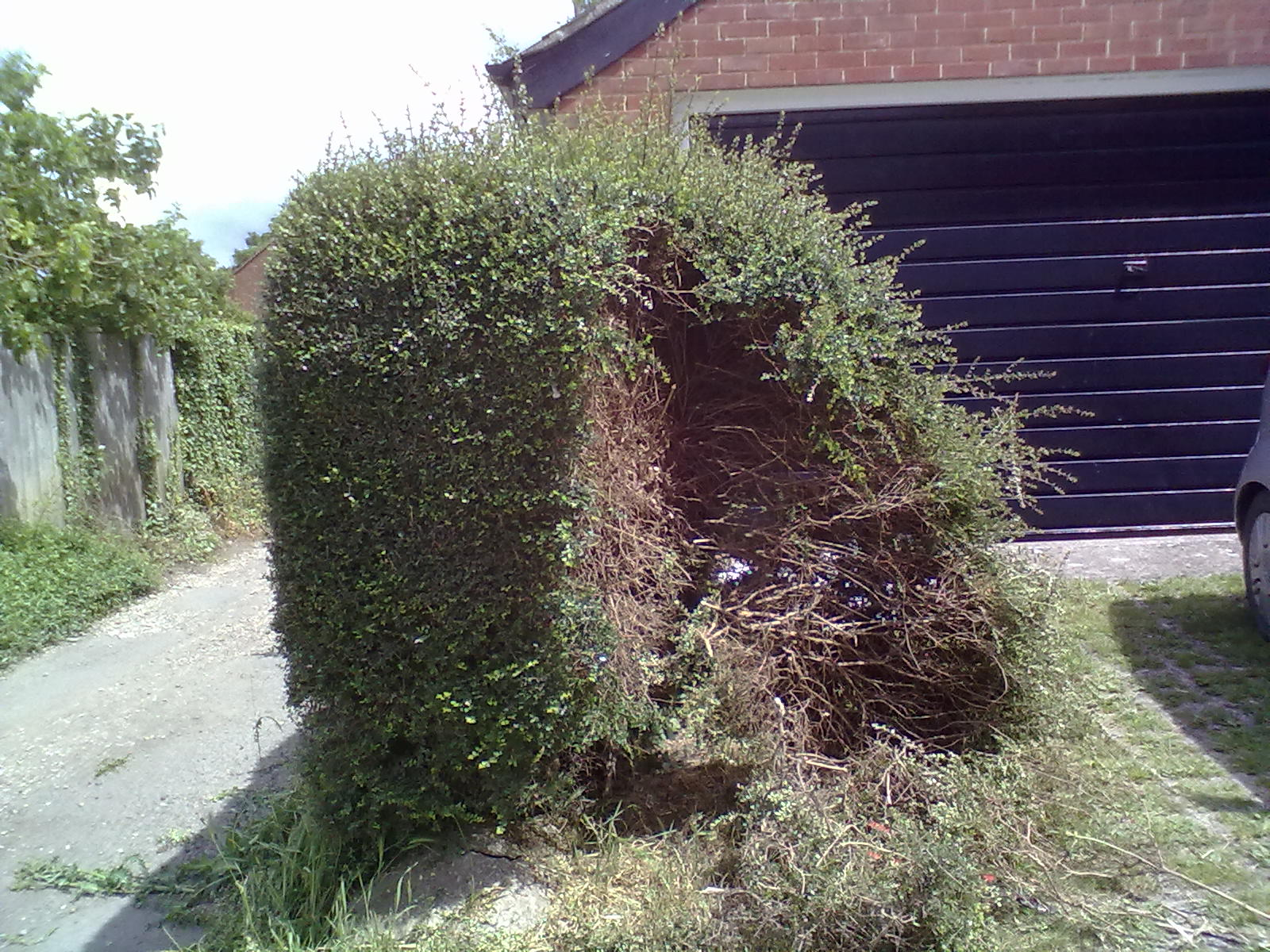 how to trim a bush that is overgrown
