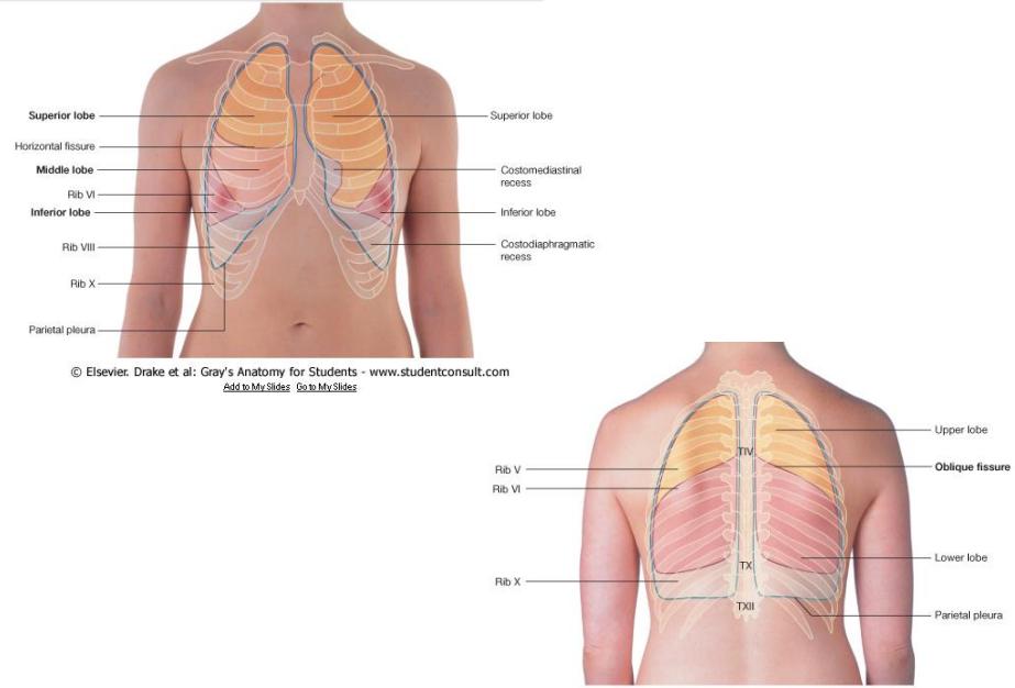 Famoso Anatomía De Superficie Del Pulmón Patrón - Anatomía de Las ...