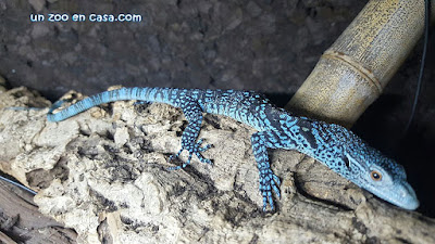 Varano azul sobre una corteza
