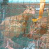 Penyakit Gumboro Pada Burung Puyuh